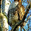 Perched Hawk by Randy Harris