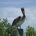 Perched Pelican by Michelle Welles
