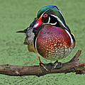 Perched Wood Duck by Dave Mills