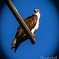 Perching Osprey by Robert Bales