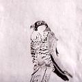 Peregrine Falcon by Kristin Davis