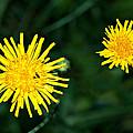 Perennial Sow-thistle by Steve Harrington