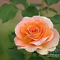 Perfect Peach Petals by Living Color Photography Lorraine Lynch