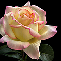 Perfect Rose by Endre Balogh