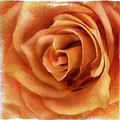 Perfection In Peach by Tanya Jacobson-Smith