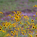 Perky Golden Coreopsis Wildflowers by Kathy Clark