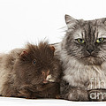 Persian X Birman Female Cat With Guinea by Mark Taylor