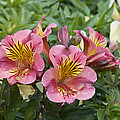 Peruvian Lily Alstroemeria Sp Princess by VisionsPictures
