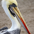 Peruvian Pelican by RicardMN Photography