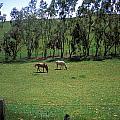 Petaluma Pasture by Kathy Yates