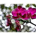 Phalaenopsis by Aline Siqueira
