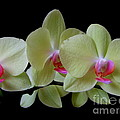 Phalaenopsis Fuller's Sunset Orchid No 1 by Mary Deal