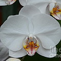 Phalaenopsis Orchid by Michael Carrothers