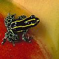 Phantasmal Poison Dart Frog by Mark Moffett