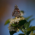Phaon Crescent Butterfly by Bill Rogers