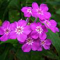 Phlox In Bloom by Bill Pevlor