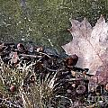 Photo Watercolour Leaf Against Rock by Mike Nellums