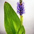 Pickerel Blue Pontederia Cordata by Charles Dobbs