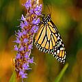Picky Monarch by Beth Phifer