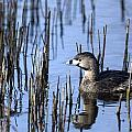 Pied-billed Grebe, Montreal Botanical by Philippe Henry