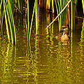 Pied-billed Grebe Near The Reeds by Roena King