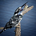 Pied Kingfisher Eating by Ronel Broderick