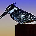 Pied Kingfisher by Ronel Broderick