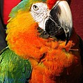 Pietro The Parrot by Lori Pessin Lafargue