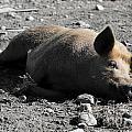 Pig by Mats Silvan