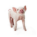 Pig Standing Looking Up, White Background by Digital Zoo