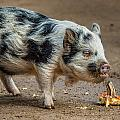 Pig With An Attitude by Greg Nyquist