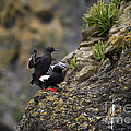 Pigeon Gillemot Mating by Mike  Dawson