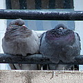 Pigeons Perching by Lainie Wrightson