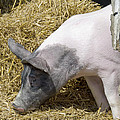 Piggy Piggy In The Straw by LeeAnn McLaneGoetz McLaneGoetzStudioLLCcom