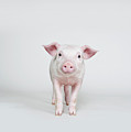 Piglet, Studio Shot by Paul Hudson