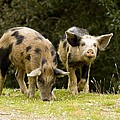 Piglets Foraging In Woodland by Bob Gibbons