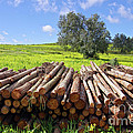 Pile Of Trunks by Carlos Caetano