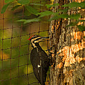Pileated Woodpecker by Paul Mangold