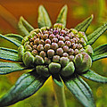 Pinchshin Bud by Debbie Portwood