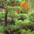 Pine And Autumn Colors In A Japanese Garden II by Greg Matchick