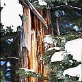 Pine Bark by Lisa  Spencer
