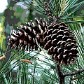 Pine Cone 2 by Mark Moore