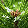 Pine Cone Cloeup by Marilyn Hunt