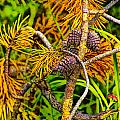 Pine Cones And Needles On A Branch by Randall Nyhof