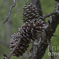 Pine Cones by Donna Brown