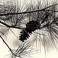 Pine Cones In The Treetops by Douglas Barnard