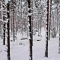 Pine Forest In January by Jouko Lehto