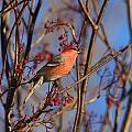 Pine Grosbeak by Doug Lloyd