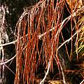 Pine Needles by Judi Bagwell