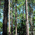 Pine Patch by Kathy  White